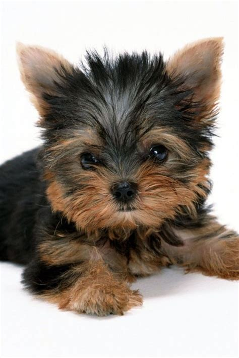 all you need to about yorkie puppies yorkie a collection of animals and pets ideas to try terrier