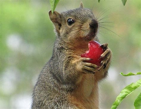 eastern fox squirrel life expectancy