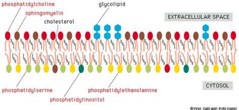 lipid membrane  asymmetrical