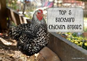 Be/best Chicken Breed For Laying Eggs With Kids » Ideas Home Design