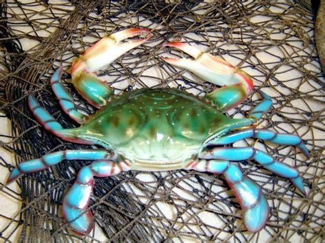 blue crab ocean treasures memorial library
