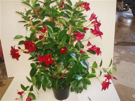 piante primaverili fiorite dipladenia sundaville