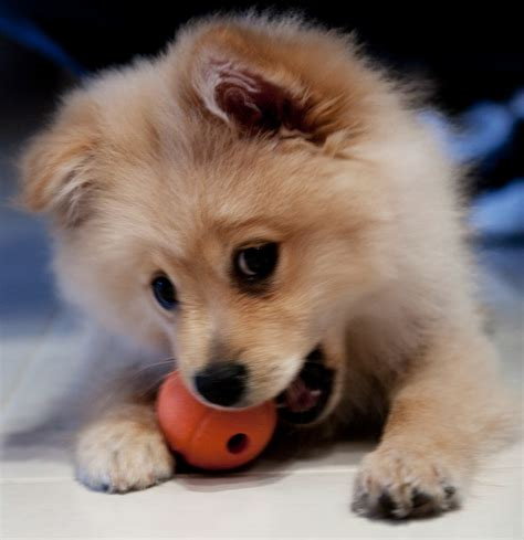 how is a pomeranian 12 minutes 60 baby pomeranians for every minute of your lunch two pom pups