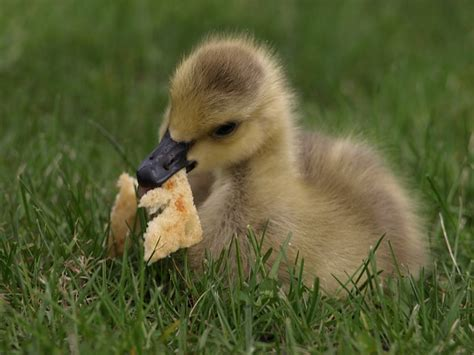free photo duck duckling bread eating cute free