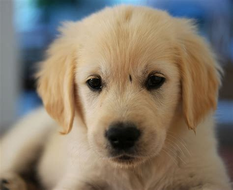 8 week puppy saga the 8 week golden retriever puppy justviral net