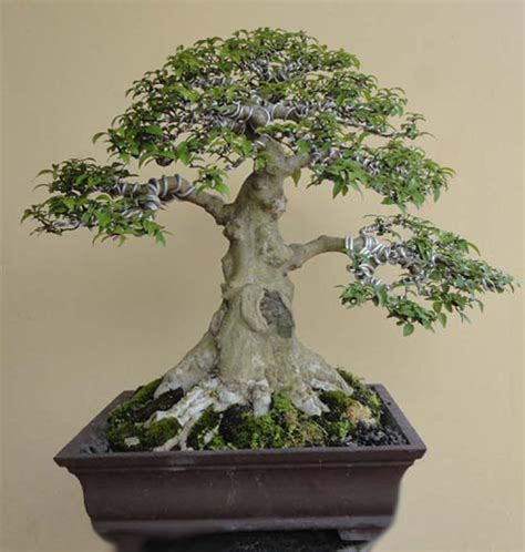 Anting Princess 2 my bonsai collection s wrightia religiosa bonsai anting putri