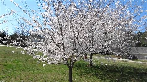 yoshino cherry trees in bloom early