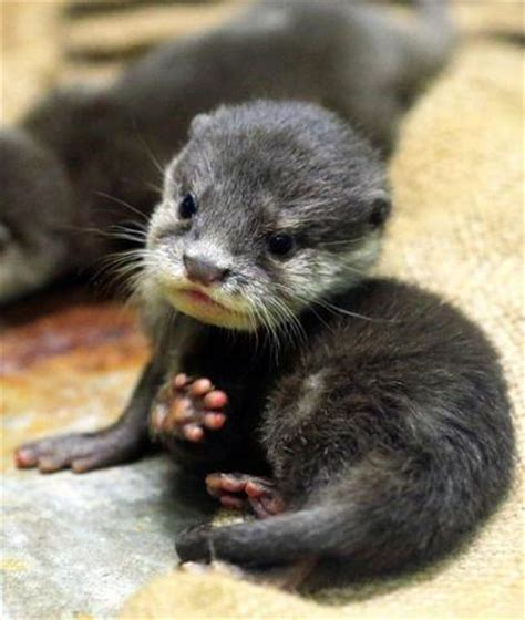 squee alert  cute baby otter  animal hearted