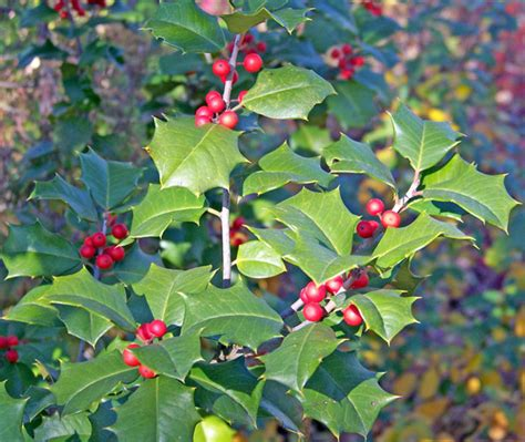 holly free stock photo public domain pictures