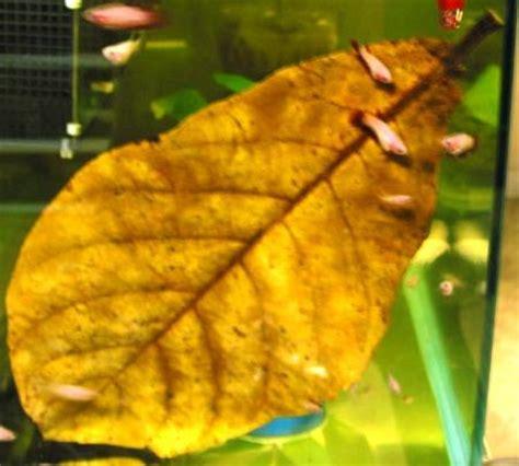Makanan Ikan Cupang Buat Warna kehidupan hewan budidaya ikan cupang ikan laga