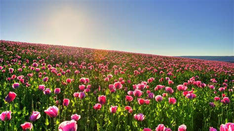 tulip fields tulip field wallpaper 10930