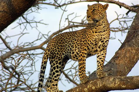 what s the difference between a jaguar and what s the difference between a jaguar and a leopard