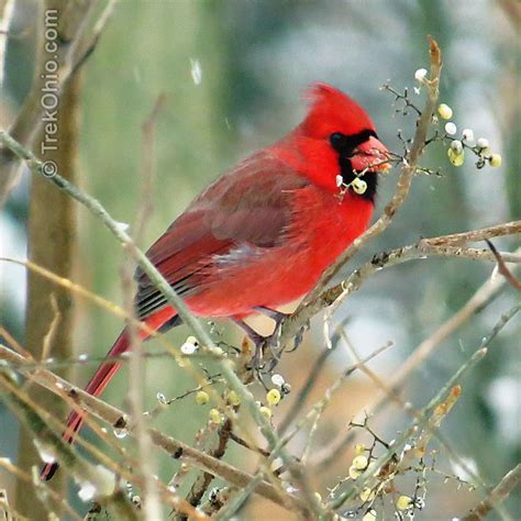 cardinal eating poison ivy berries trekohio