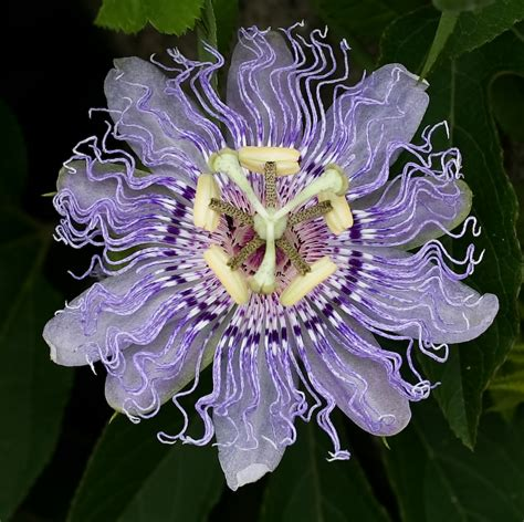 passiflora incarnata wikipedia