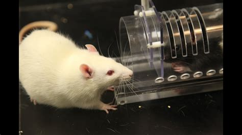 rats show kindness  strangers   study shows
