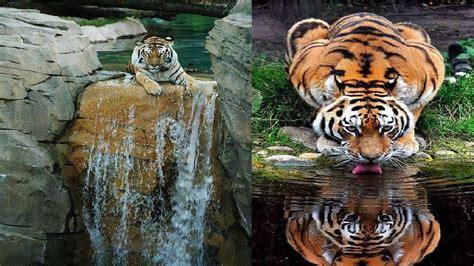 beautiful tiger beautiful tiger by robert cinega