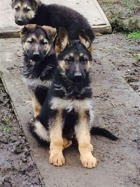 haired german shepherd puppies haired german shepherd puppies welling kent pets4homes