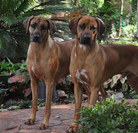 Do Rhodesian Ridgeback Shed by Rhodesian Ridgeback Complete Breeds Picture