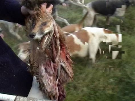 how to a hound to hunt saboteurs attacked and live fox thrown to hounds hunt saboteurs association