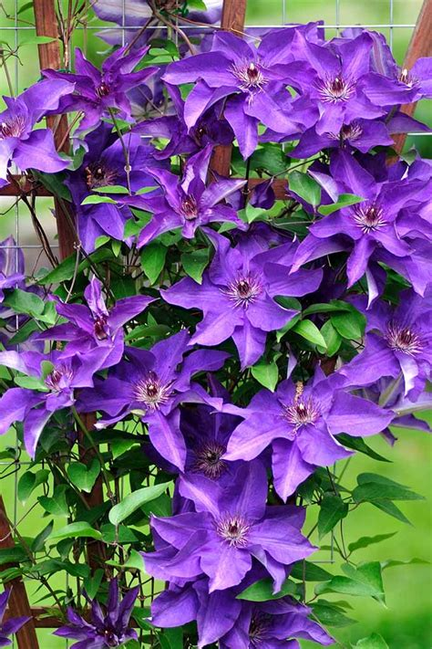 3 easy ways to plant clematis with pictures wikihow how to grow clematis make your vines pop with color