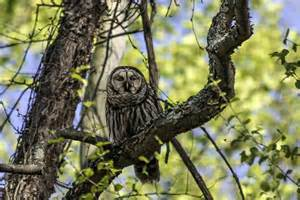 owl tree more barred owl images stephen l tabone nature photography