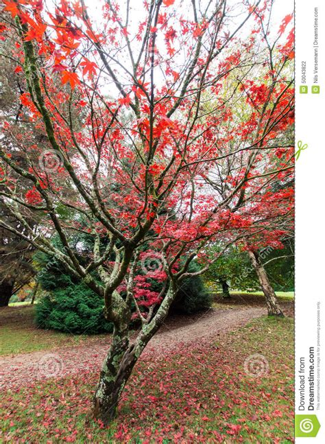 maple tree east japanese maple leaves in the dandenong ranges stock photo image 50043822