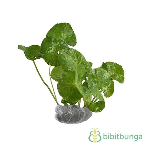 tanaman thai basil bibitbunga