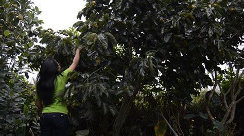 Bibit Tanaman Buah Kesemek tanaman buah kesemek