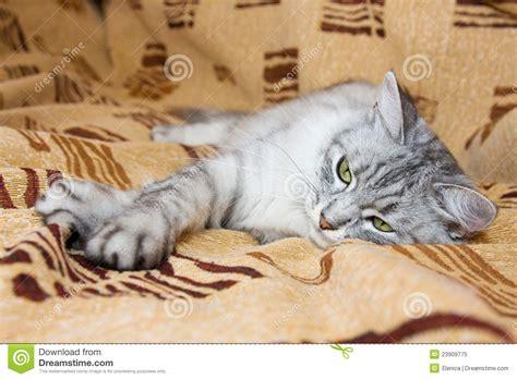 katze uriniert auf sofa graue gestreifte katze die auf dem sofa liegt
