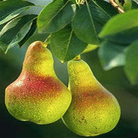 onlineplantcenter 5 gal summer crisp pear fruit tree