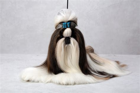 best in show shih tzu best in show shih tzu assistedlivingcares