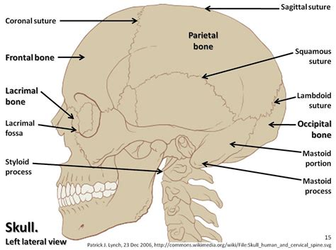 skull diagram labeled skull diagram lateral view with labels part 1 axial