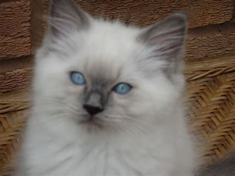 cats for sale ragdoll kittens for sale stourbridge west midlands