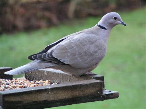 gallery collard dove