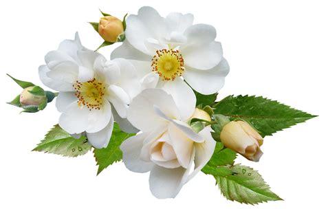 Aksesona Anting Flower Tulip Gold White Transparent white single 183 free photo on pixabay