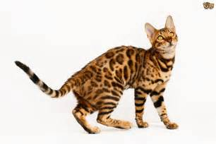 is it true bengal cats shed less than other cats pets4homes
