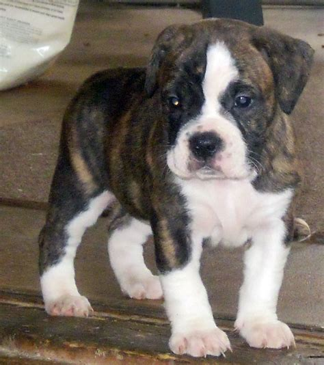 dogs for sale in michigan brindle miniature australian shepherds pictures