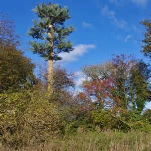 imitation trees imitation scots pine tree 169 ian cc by sa 2 0
