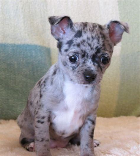 merle chihuahua puppies smiley x will black merle chihuahua puppy lineals chihuahuas past