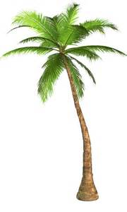 palm tree l palm tree transparent background image