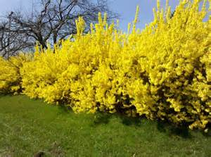 25 best images about spring is forsythia time on