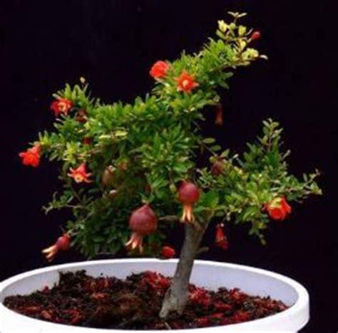 piante da frutta in vaso alberi da frutto in vaso verdeblog