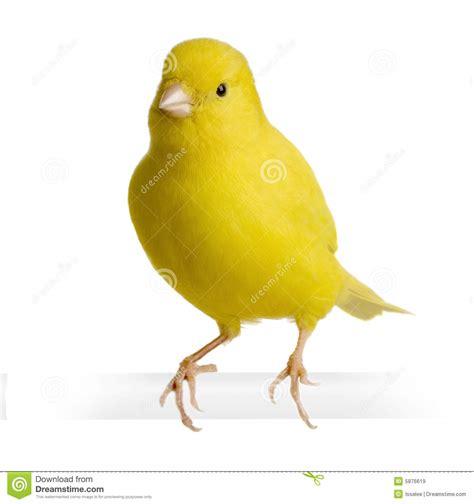 rhinelander canaries stock photo royalty gele kanarie serinus canaria op zijn toppositie stock