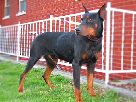 doberman pinscher puppies for sale in ohio doberman pinscher puppies for sale in kentucky henson s doberman pinscher puppies