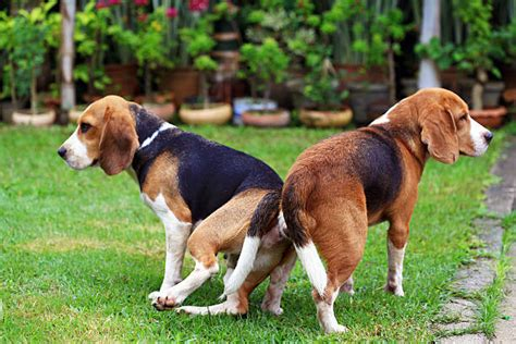 sexo mujer con perro quedan pegados dog mating pictures images and stock photos istock