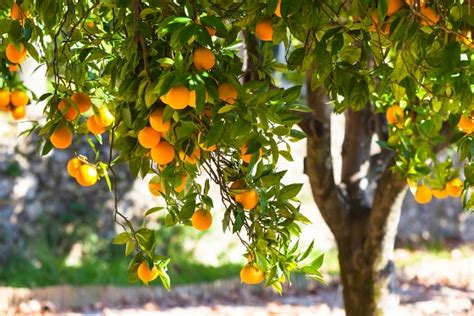 what is the fruit of the tree of visit greece nostalgic citrus trees aromas