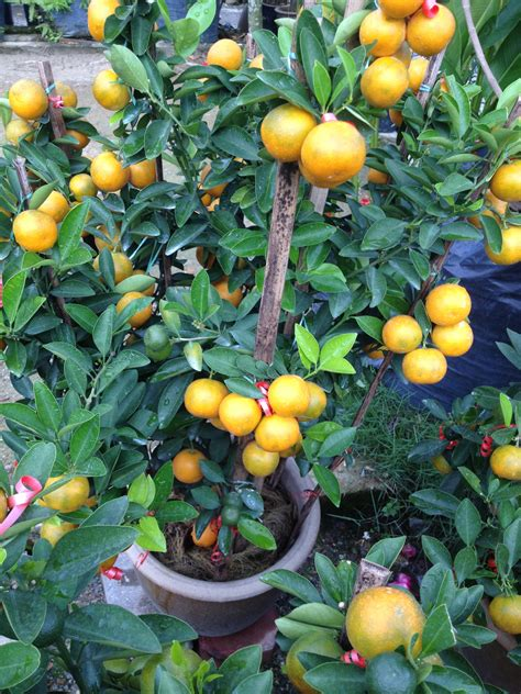 new year lime tree and care lijiun