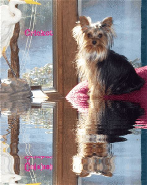 yorkie puppies for sale in florence sc twila s yorkies more past puppies