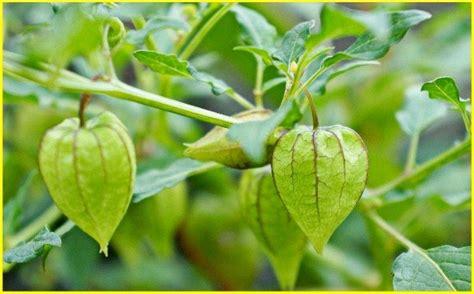 Aneka Tanaman Obat Dan Khasiatnya 28 jenis daun tanaman berkhasiat obat ngasih