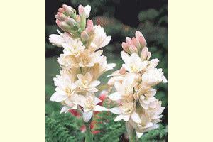 mengenal hama tanaman bunga sedap malam